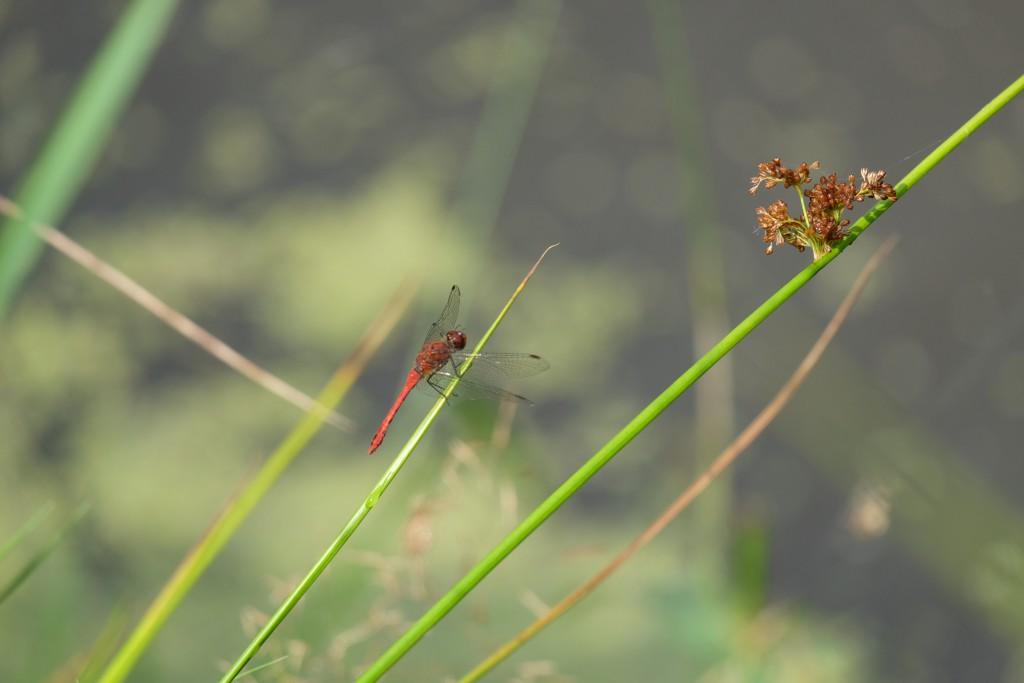 2019 Libelle auf Binse